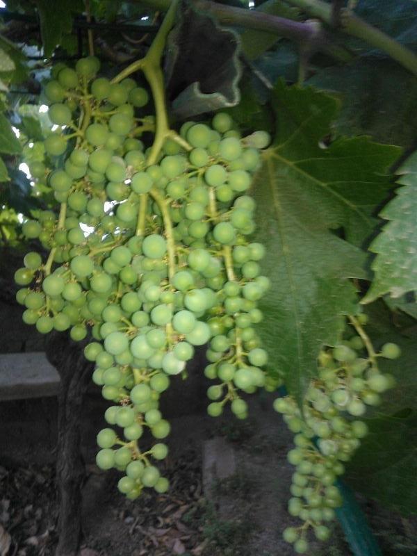 4. uvas